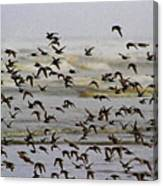 Sand Pipers In Flight Canvas Print