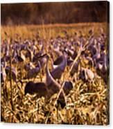 Sandhills In The Corn Canvas Print