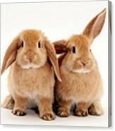 Sandy Lop Rabbits Canvas Print