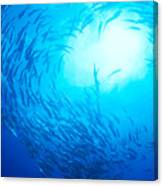 School Of Bigeye Jacks Canvas Print