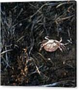 Scuttling To Safety Canvas Print