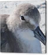 Sea Birds Sanibel Island Canvas Print