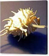 Seashell Spondylus Americanus Canvas Print