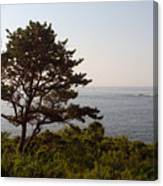 Seaside Pine Canvas Print