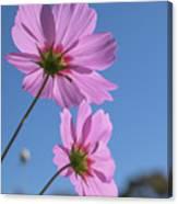 Sensation Cosmos Bipinnatus Pink Cosmos Standing Up Towerd Sky Canvas Print
