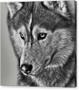 Siberian Husky 2 Canvas Print