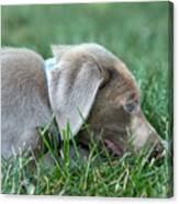 Silver Labrador Retriever Puppy  Canvas Print