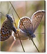 Silver-studded Blue Butterflies Canvas Print