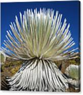 Silversword Plant Canvas Print