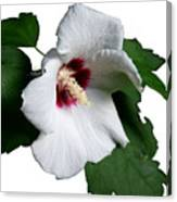 Single Rose Sharron Flower Canvas Print