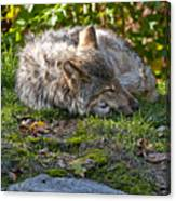 Sleeping Timber Wolf Canvas Print