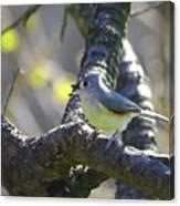 Tufted Titmouse - Small Bird Canvas Print