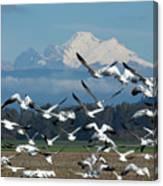 Snow Geese In Skagit Valley Canvas Print