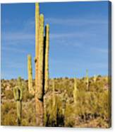 South Mountain Cactus Canvas Print