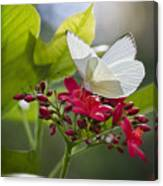 Southern White Butterfly  Canvas Print