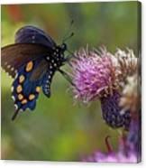 Spicebush Swallowtail On Bull Thistle Canvas Print