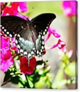 Spicebush Swallowtail Canvas Print