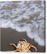 Spider Conch Shell Canvas Print