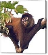 Spider Monkey Canvas Print