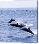 Spinner Dolphins Canvas Print