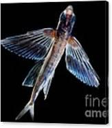 Spotfin Flyingfish Canvas Print