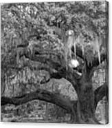 Sprawling Live Oak Canvas Print