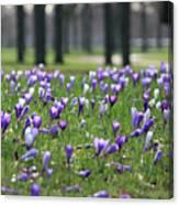 Spring Flowering Crocuses Canvas Print