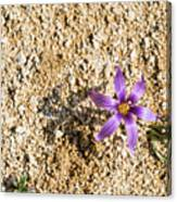 Spring Sand Crocus Flower Canvas Print