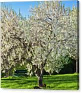 Springtime Blossoms Canvas Print