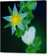 Starflower Canvas Print