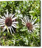 Stemless Carline Thistle Carlina Acaulis Canvas Print
