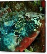 Stop Light Parrot Fish Canvas Print