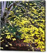 Sugar Maple Birch River Canvas Print