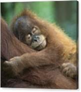 Sumatran Orangutan Pongo Abelii Two Canvas Print