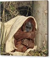 Sumatran Orangutang - Canvas Print