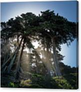 Sunbeams From Large Pine Or Fir Trees On Coast Of San Francisco  Canvas Print