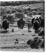 Sunset Bison Stroll Black And White Canvas Print