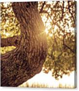 Sunset On A Tree Canvas Print