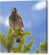 Swainson Hawk Canvas Print