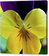 The Face Of A Pansy Canvas Print