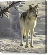 The Gray Wolf Canvas Print