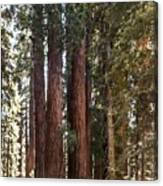 The House Group Giant Sequoia Trees Sequoia National Park Canvas Print