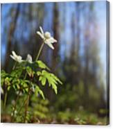 The Morning. Wood Anemone Canvas Print