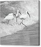 The Tide Of The Ibises Canvas Print