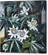 Thornton: Passion-flower Canvas Print
