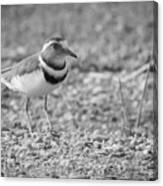 Three Banded Plover Canvas Print