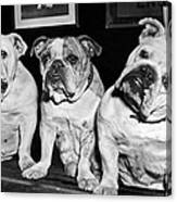 Three English Bulldogs Canvas Print