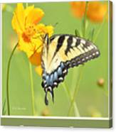 Tiger Swallowtail Butterfly On Cosmos Flower Canvas Print