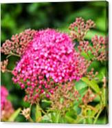 Tiny Pink Spirea Flowers Canvas Print