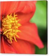 Tithonia Rotundifolia, Red Flower Canvas Print